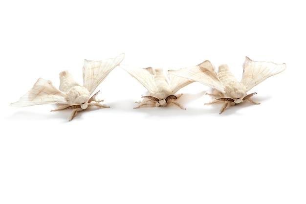 Farfalla bianca di baco da seta baco da seta isolato
