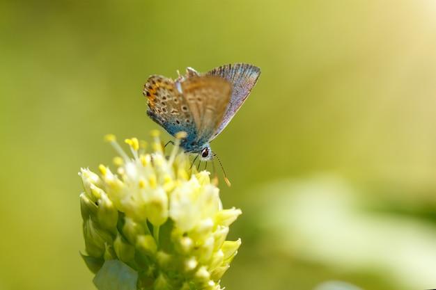 Farfalla blu di adonis che si siede su una macro del fiore