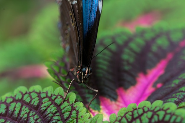 Farfalla blu di vista frontale sulle foglie variopinte