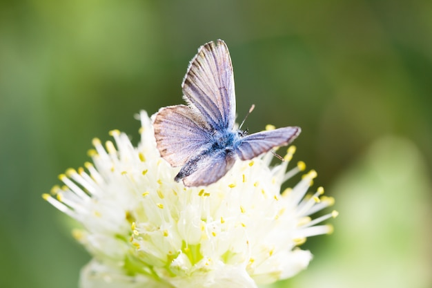 Farfalla blu, su un fiore, insetto di primavera