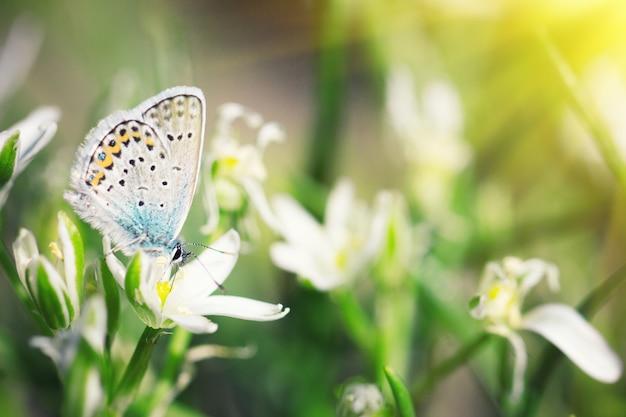 Farfalla blu sveglia che si siede sui fiori bianchi, sfondo naturale, insetto in natura, con un'ondata di sole morbida