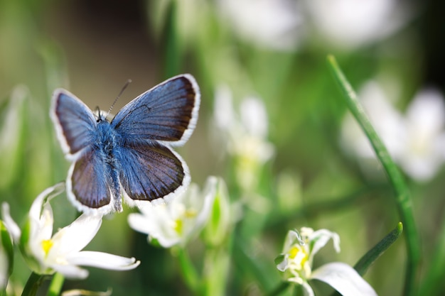 Farfalla blu sveglia che si siede sui fiori bianchi, sfondo naturale, insetto in natura