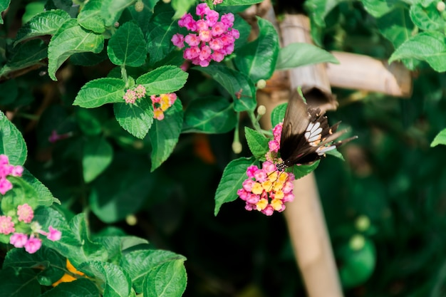 Farfalla brulicante, fiori giallo-rosa con uno sfondo frondoso.