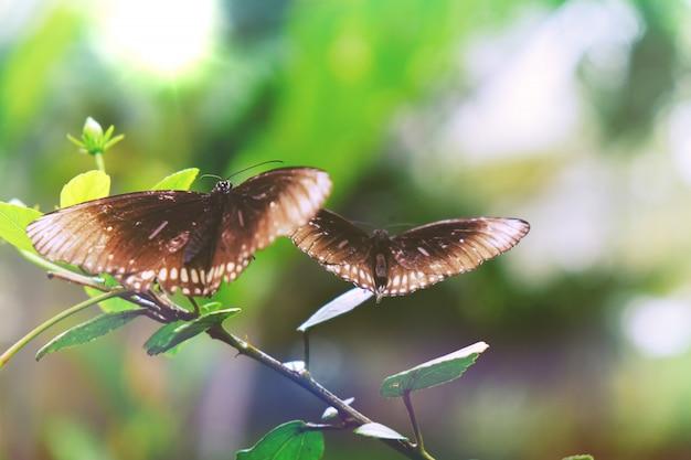 Farfalla che si siede sul bello insetto delle foglie verdi nell'habitat della natura.