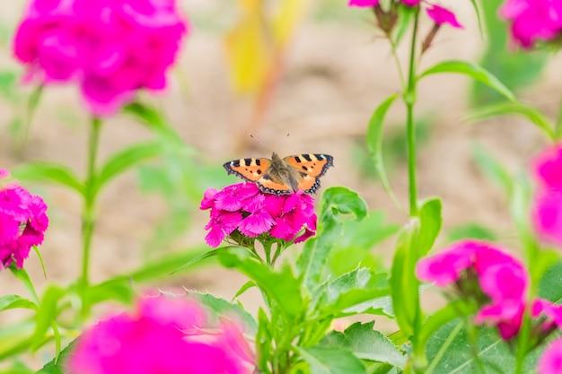 Farfalla che si siede sul flox rosa di fioritura