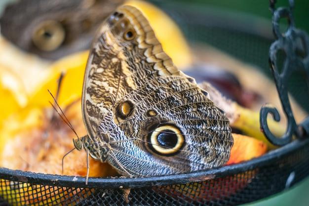Farfalla clipper