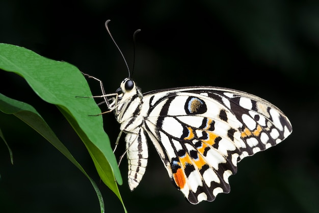Farfalla colorata pallida su foglia