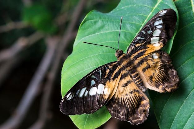 Farfalla del pascolo sulla fine della foglia su