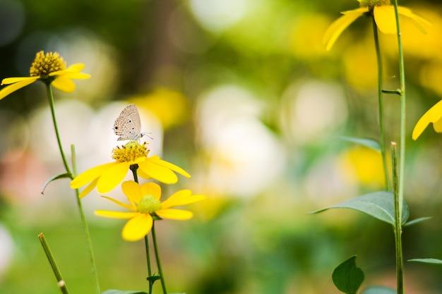 Farfalla del primo piano sul fiore giallo