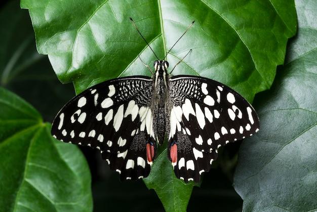 Farfalla dettagliata di vista superiore che si siede sulla foglia