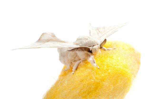 Farfalla di baco da seta sopra il bozzolo giallo su bianco