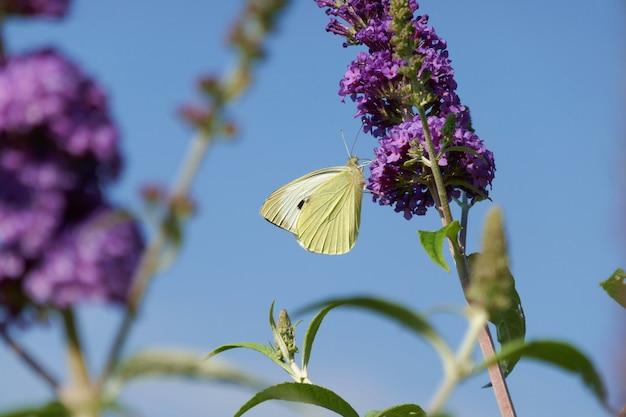 Farfalla di cavolo sul fiore