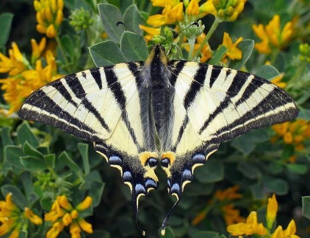 Farfalla di coda forcuta scarsa iphiclides podalirius