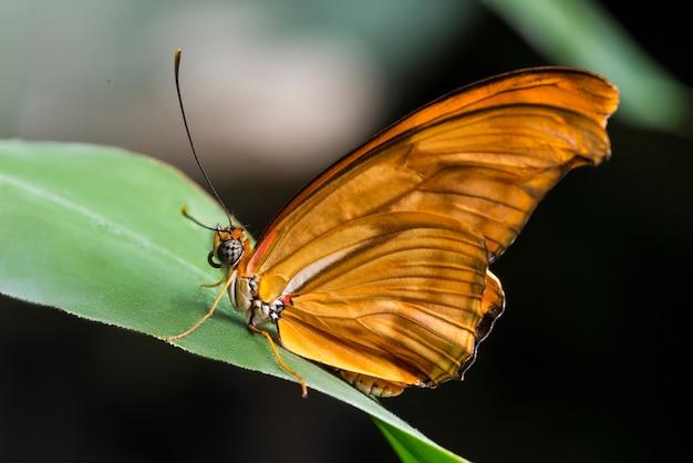 Farfalla di julia arancione vista laterale