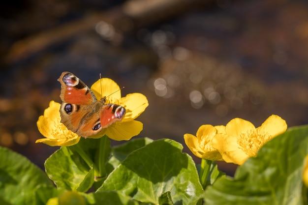 Farfalla di pavone - aglais io - seduta sul fiore di kingcup o marsh marigold - caltha palustris.