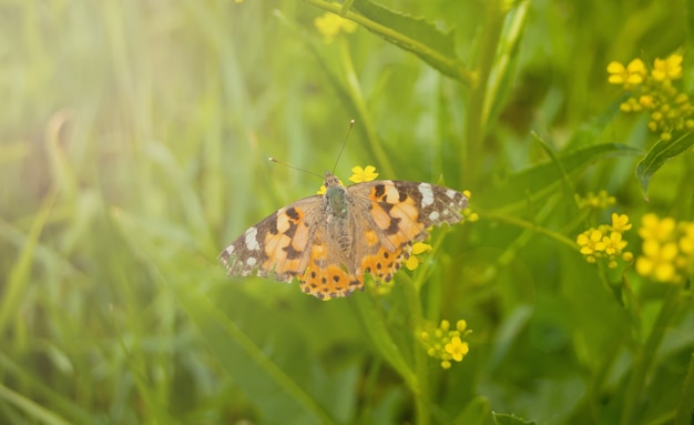 Farfalla di primavera su un fiore