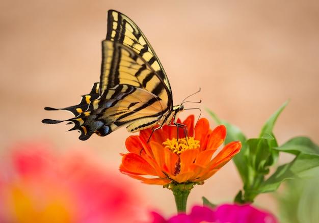 Farfalla di swallowtail nel giardino di zinnia
