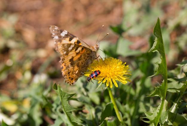 Farfalla e scarabeo su un dente di leone giallo. stagione estiva.