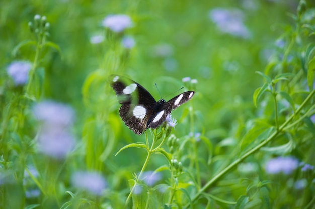 Farfalla eggfly