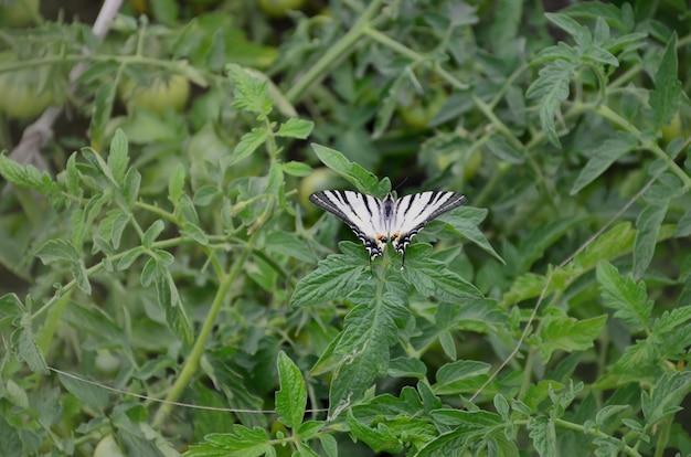 Farfalla europea rara di iphiclides podalirius di coda di rondine scarsa