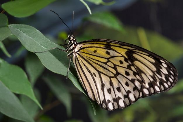 Farfalla gialla di vista laterale sul foglio