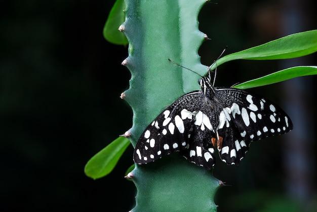 Farfalla in bianco e nero che sta sull'aloe vera