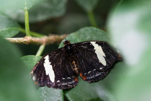 Farfalla in bianco e nero vista dall'alto