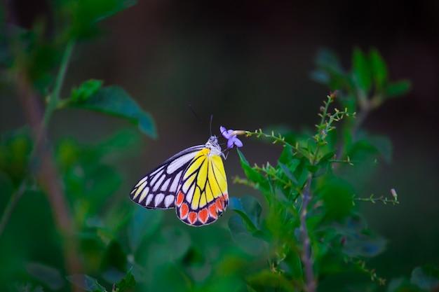 Farfalla jezebel