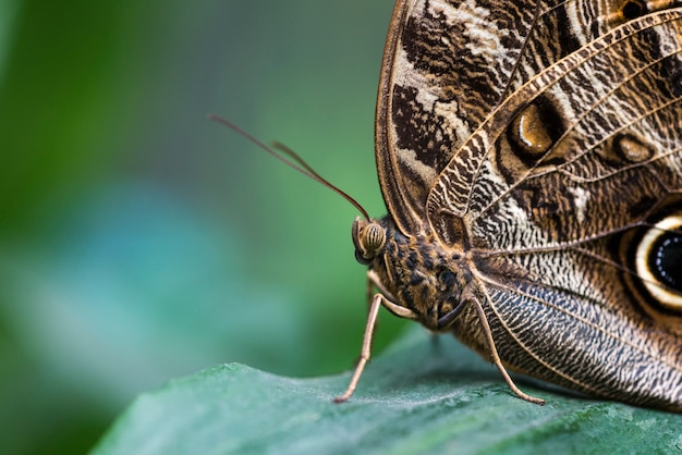 Farfalla marrone dettagliata su estremo di estremo