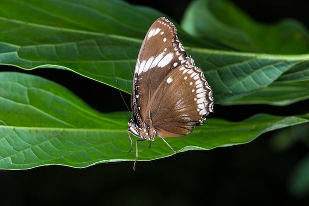 Farfalla marrone di vista laterale sul foglio
