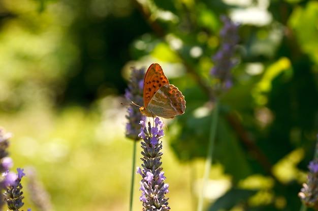Farfalla su fiori di lavanda