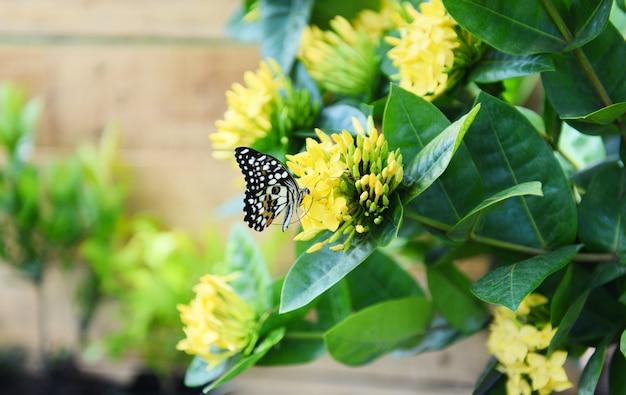 Farfalla su giallo di ixora del fiore che fiorisce nei precedenti di legno del giardino nel giorno luminoso soleggiato di estate