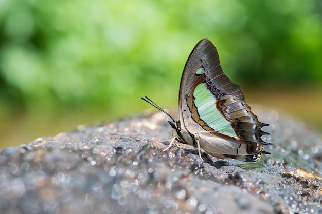 Farfalla su una roccia