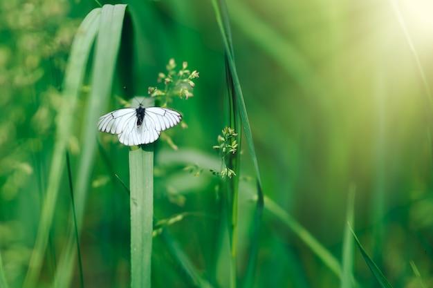 Farfalle bianche sulla priorità bassa della natura dei fiori. farfalla di cavolo