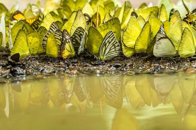 Farfalle che mangiano e volano in natura