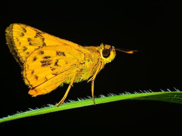 Farfalle comuni del galoppo di dartlet oriens farfalle del giardino i