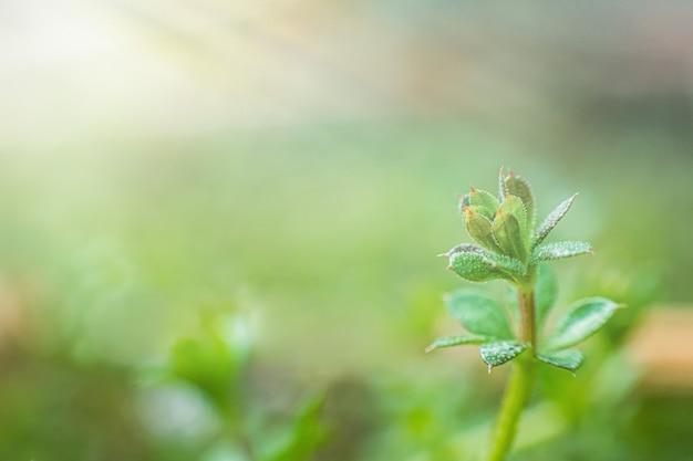 Fasci di galium aparine, clivers, goosegrass, catchweed, stickyweed, robin-run-the-hedge, sticky willy, sticky willow, stickyjack, stickeljack e grip grass close-up in primavera