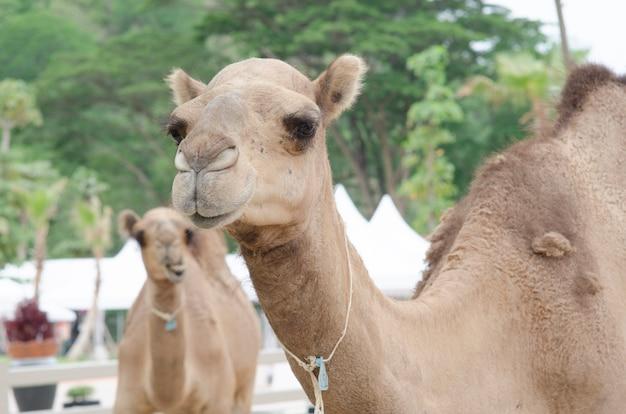 Fattoria di cammelli nel deserto di dubai, emirati arabi uniti