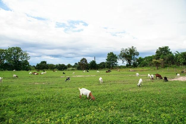 Fattoria di capra