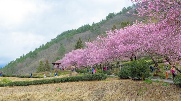 Fattoria di ciliegie a taiwan