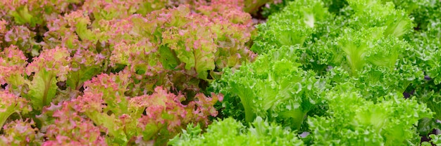 Fattoria di verdure idroponica fresca lattuga rossa e verde.