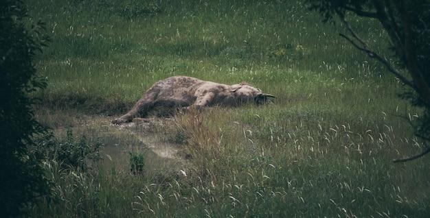 Fauna selvatica e foresta, elefante asiatico selvaggio che dorme sul pascolo, parco nazionale di khao yai, tailandia