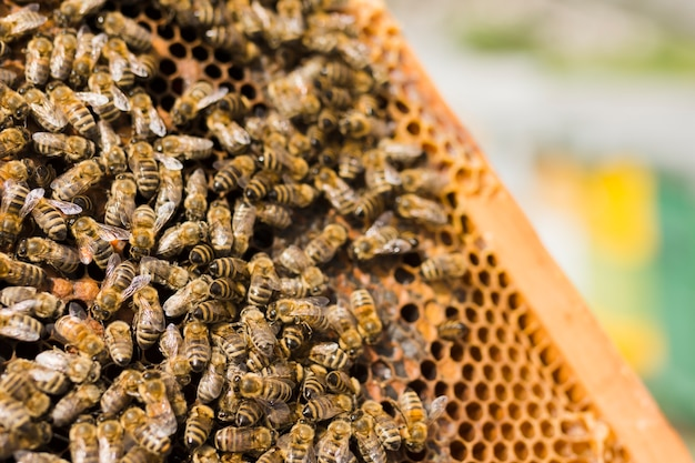 Favo con api