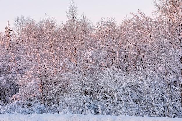 Favoloso alba rosa nella foresta invernale