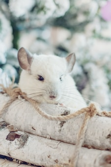 Felice anno nuovo cinese 2020 anno di ratto. ritratto di cincillà bianco carino sullo sfondo dell'albero di natale