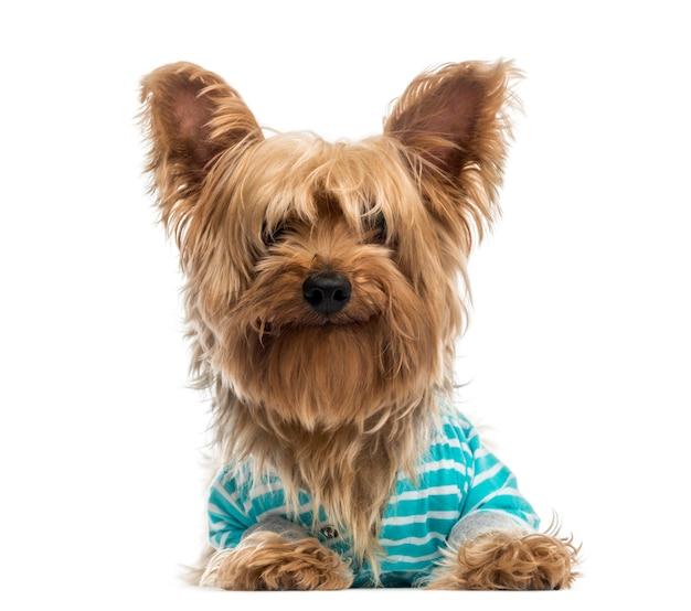 Felice yorkshire terrier che indossa una camicia blu a strisce