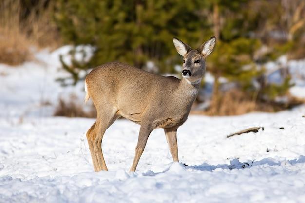 Femmina vigile dei caprioli che pasce sul campo nevoso con cautela