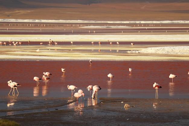 Fenicotteri rosa a laguna colorada o la laguna rossa su boliviano altiplano, bolivia, sud america
