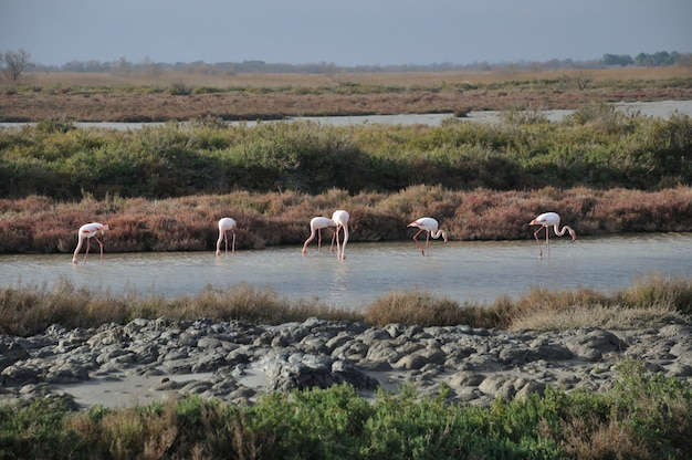 Fenicottero maggiore, uccello rosa che mangia nel lago in camargue