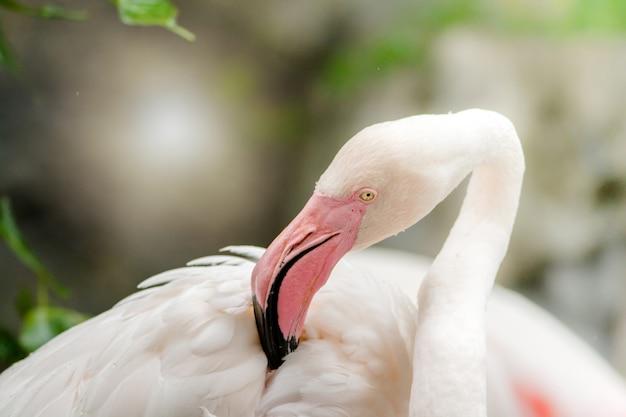 Fenicottero rosa da vicino, ha una bellissima colorazione di piume
